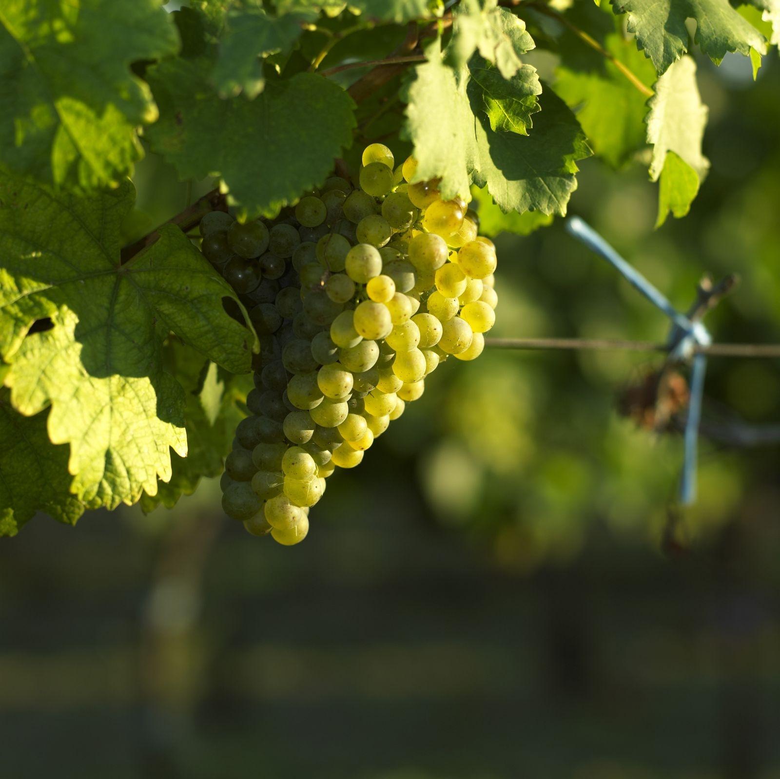 grapes-1-c-wineboard-weinviertel-a-haiden